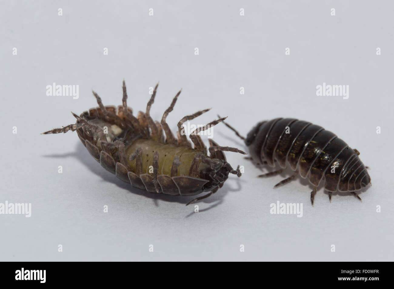 Pill Bug coming out of its comfort zone Stock Photo