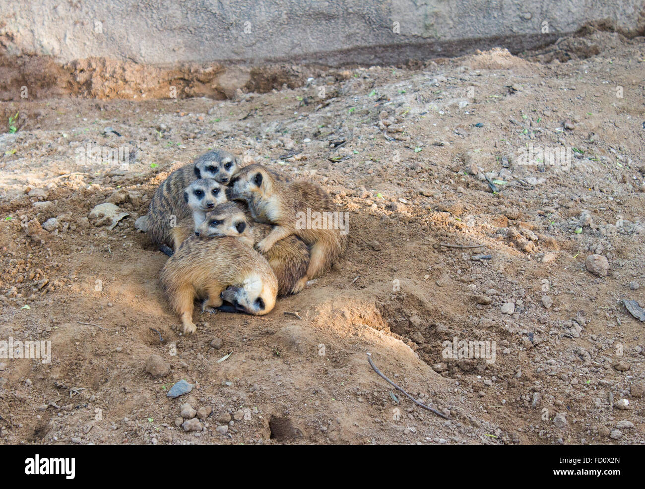Meerkat grouped at the zoo - Stock Image