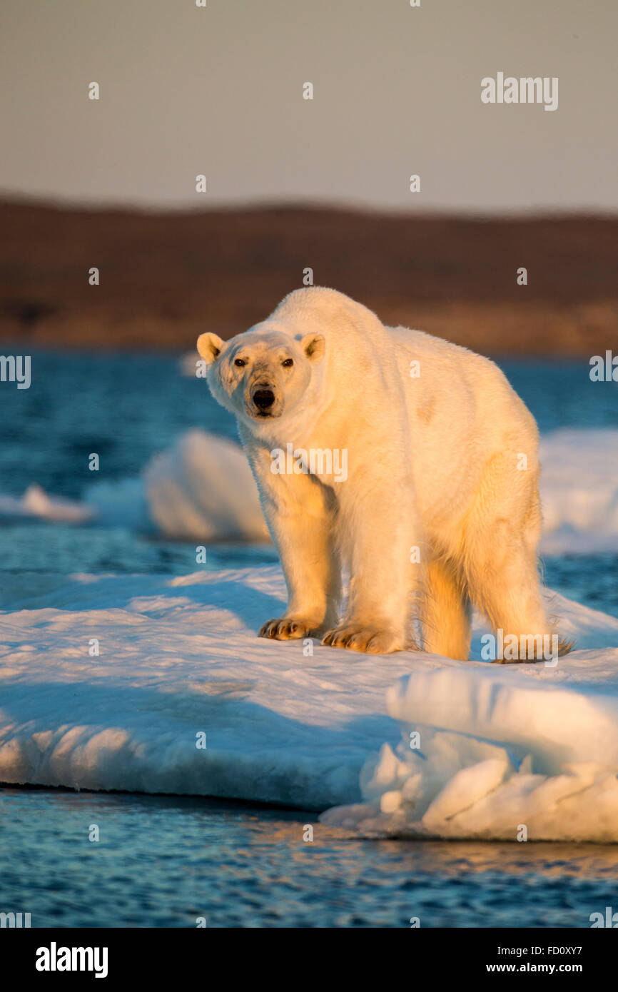 Canada, Nunavut Territory, Adult male Polar Bear (Ursus maritimus) standing at edge of drifting pack ice near mouth Stock Photo