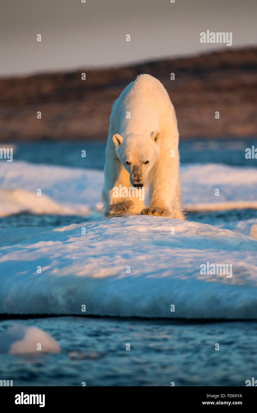 Canada, Nunavut Territory, Adult male Polar Bear (Ursus maritimus) standing at edge of drifting pack ice near mouth Stock Photo