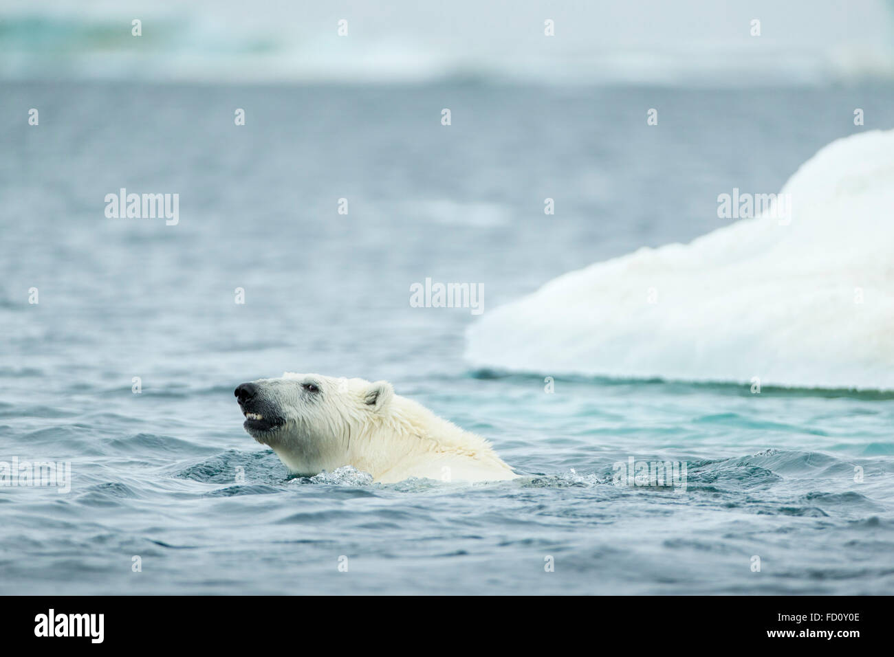 Mature polar bear men galleries