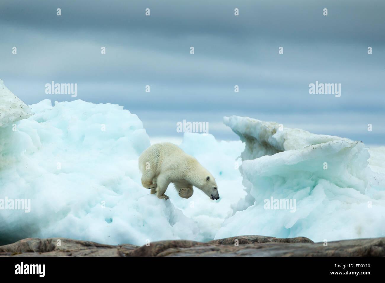 Canada, Nunavut Territory, Repulse Bay, Polar Bear (Ursus maritimus) running amid melting sea ice near Harbour Islands - Stock Image