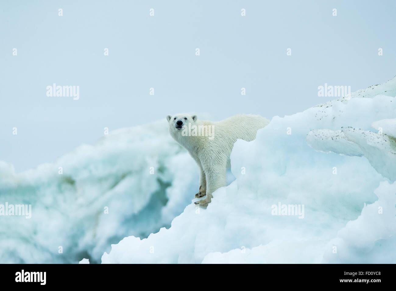 Canada, Nunavut Territory, Repulse Bay, Polar Bear (Ursus maritimus) standing amid melting sea ice near Harbour - Stock Image