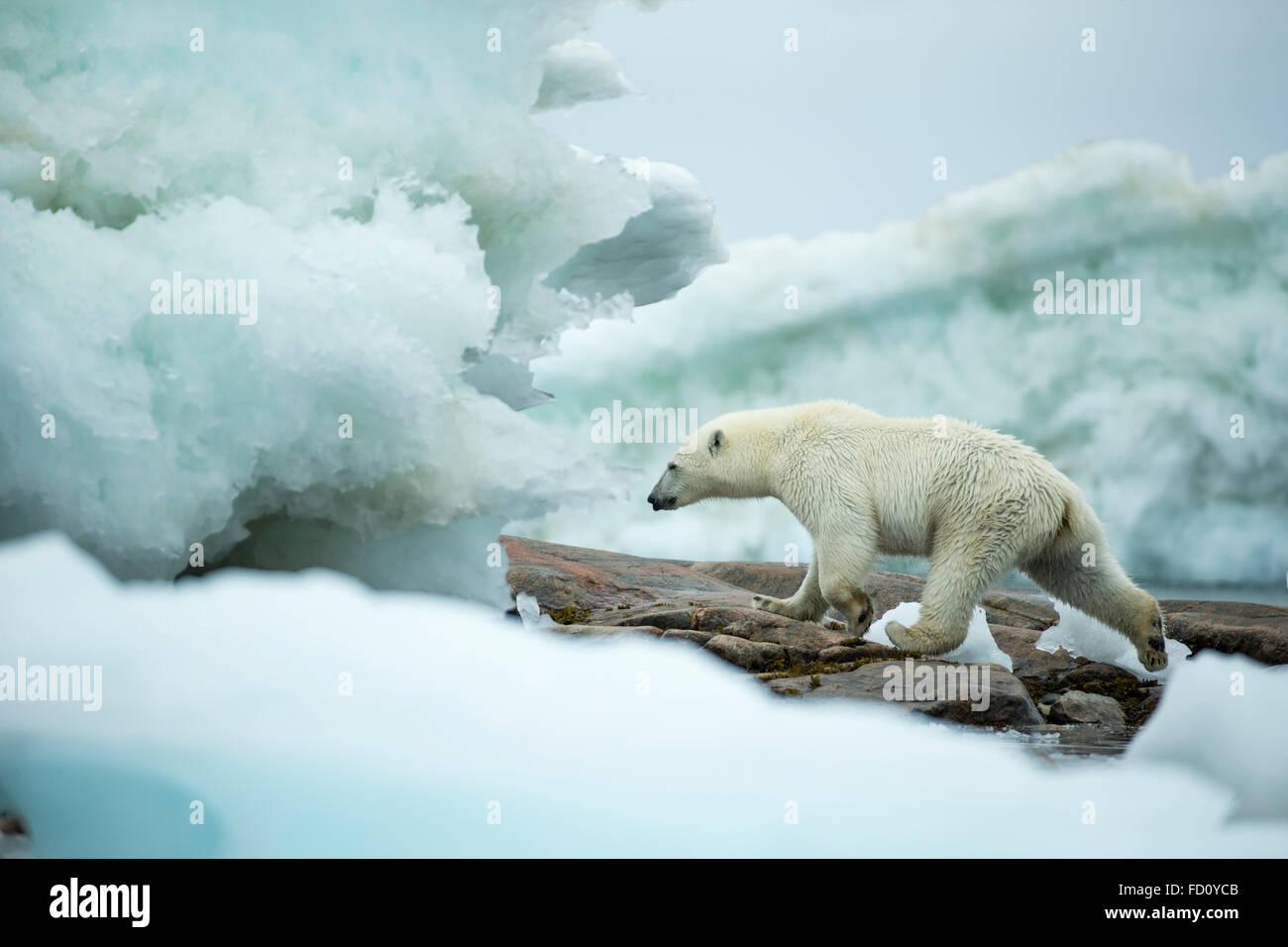 Canada, Nunavut Territory, Repulse Bay, Polar Bear (Ursus maritimus) walking amid melting sea ice near Harbour Islands - Stock Image