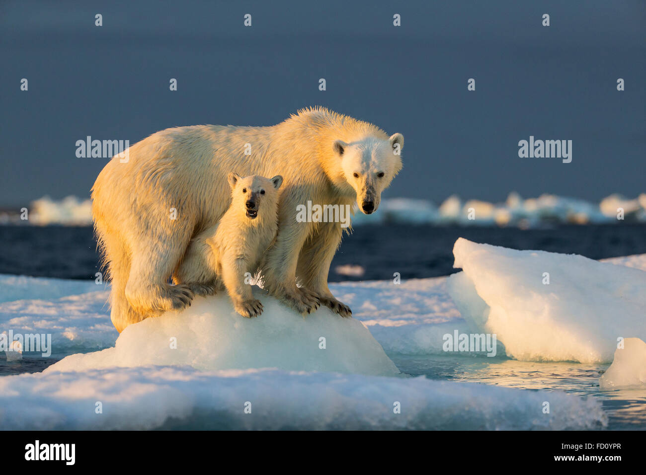Canada, Nunavut Territory, Repulse Bay, Polar Bear Cub (Ursus maritimus) beneath mother while standing on sea ice - Stock Image