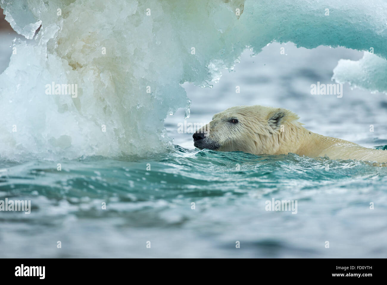 Canada, Nunavut Territory, Repulse Bay, Polar Bear (Ursus maritimus) swimming through melting sea ice near Harbour - Stock Image