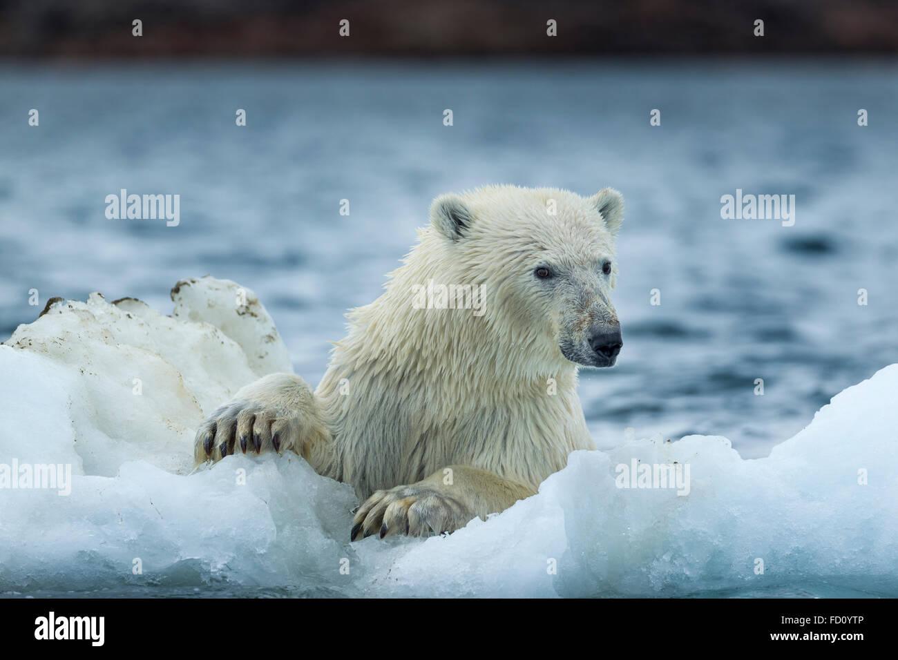 Canada, Nunavut Territory, Repulse Bay, Polar Bear (Ursus maritimus) holding onto melting sea ice near Harbour Islands - Stock Image