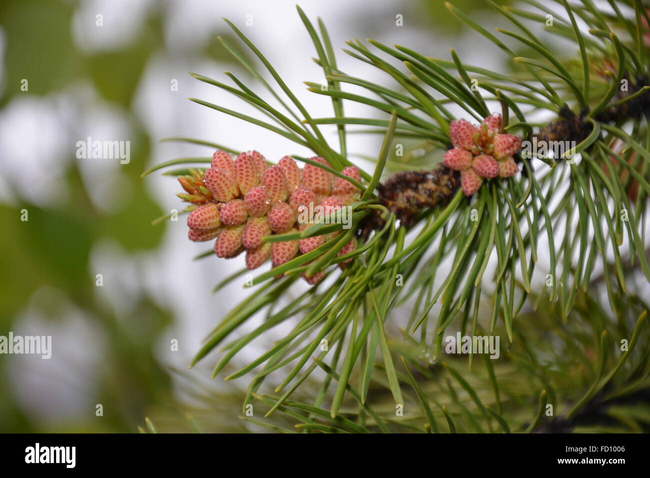 Close up of pine tree needles and baby pine cones. - Stock Image