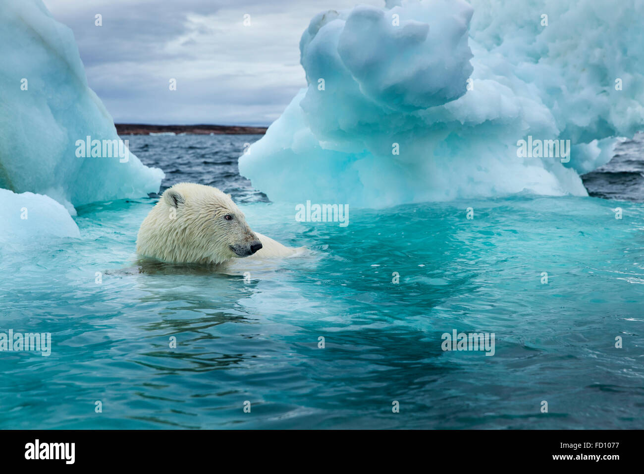 Canada, Nunavut Territory, Repulse Bay, Polar Bear (Ursus maritimus) swimming beside melting iceberg near Arctic Stock Photo
