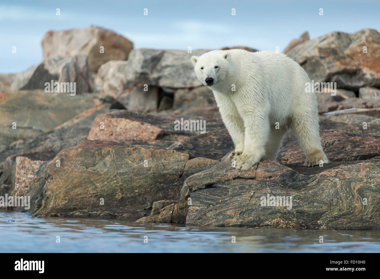 Canada, Nunavut Territory, Repulse Bay, Polar Bear (Ursus maritimus) standing at water's edge along Hudson Bay near - Stock Image