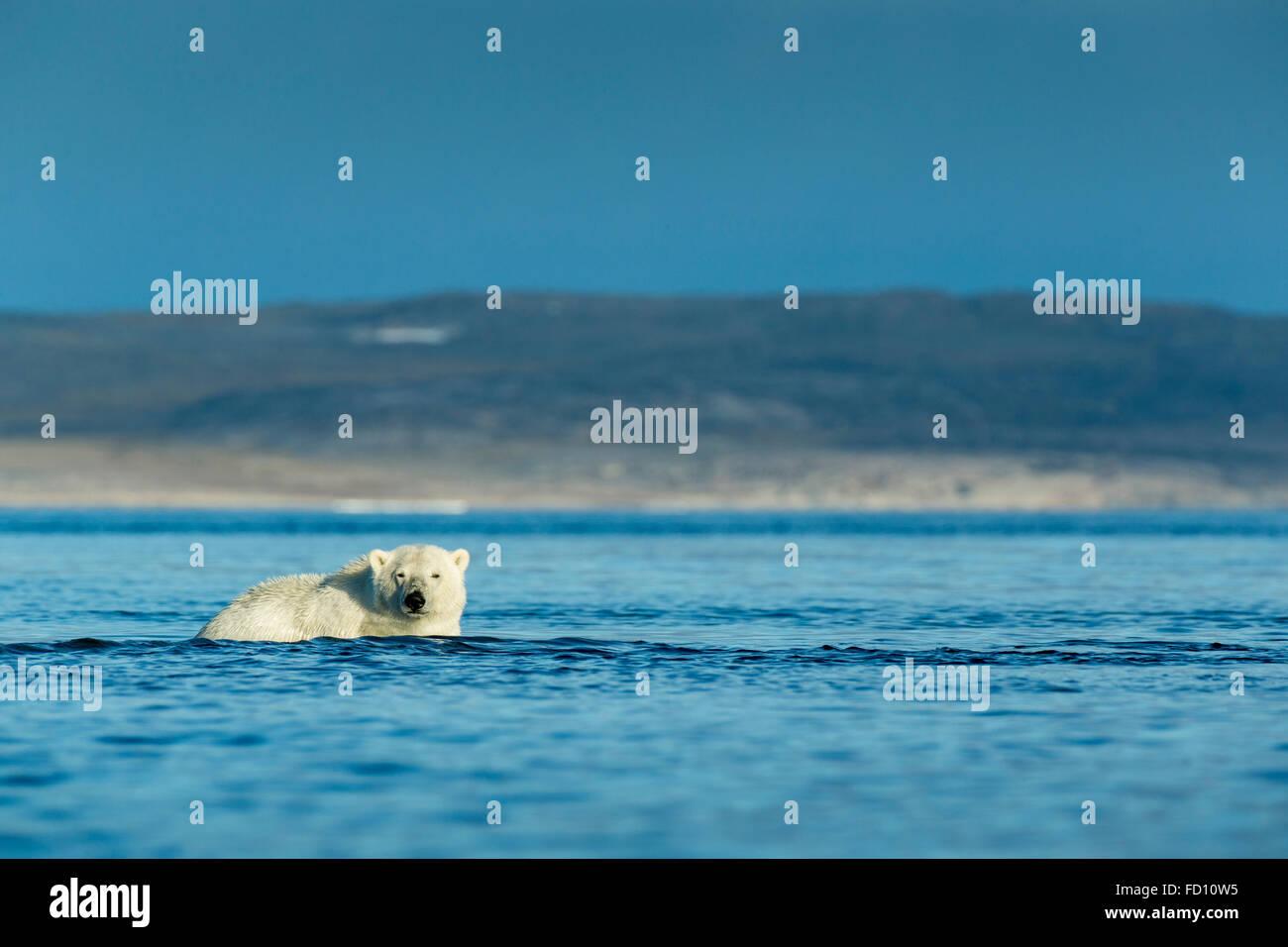 Canada, Nunavut Territory, Repulse Bay, Polar Bear (Ursus maritimus) wading into shallows along Hudson Bay shoreline - Stock Image