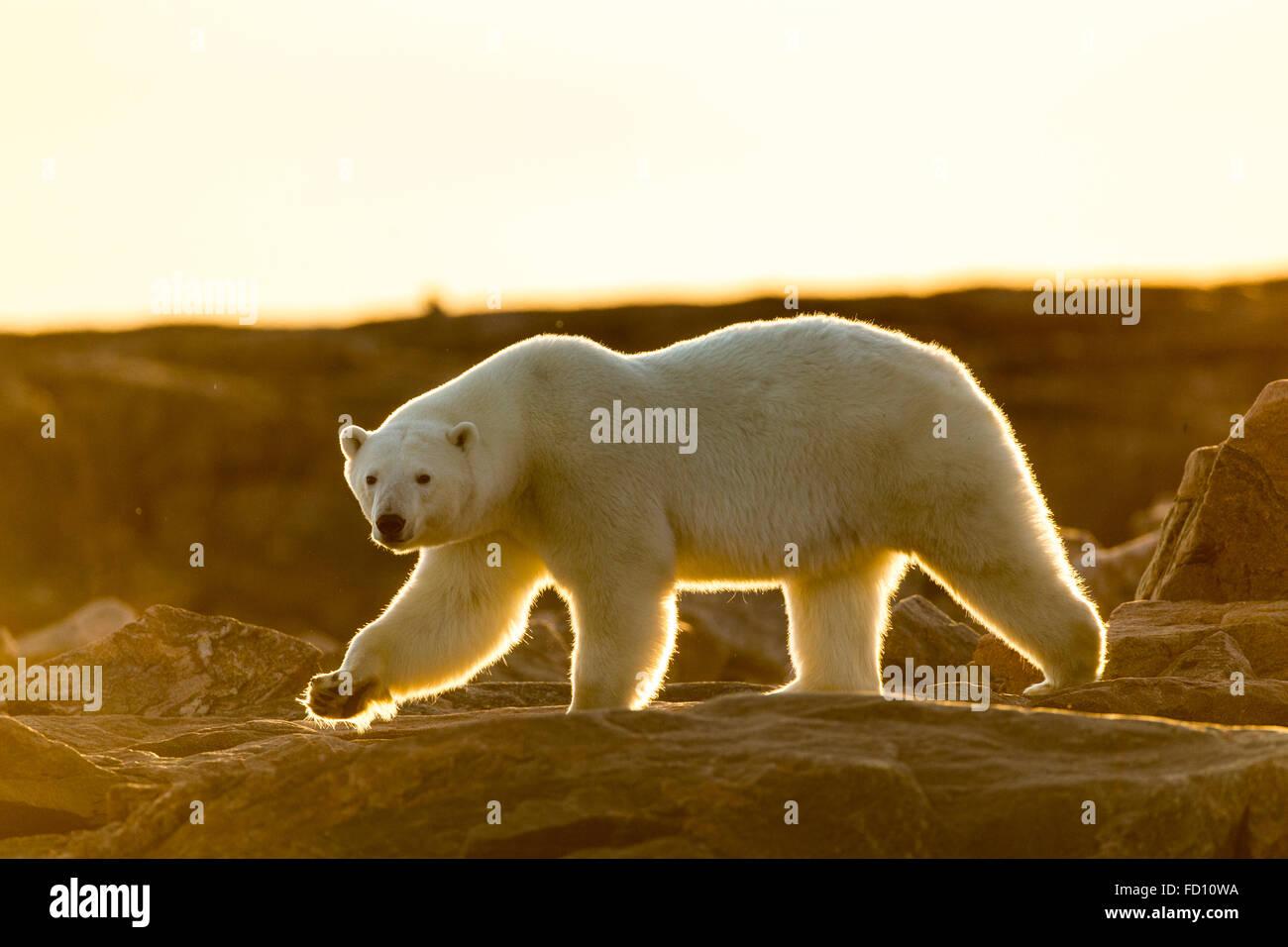 Canada, Nunavut Territory, Setting midnight sun lights Polar Bear (Ursus maritimus) walking along rocky shoreline - Stock Image