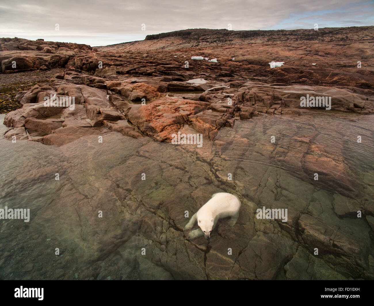 Canada, Nunavut Territory, Repulse Bay, Aerial view of Polar Bear (Ursus maritimus) cooling off along shoreline - Stock Image
