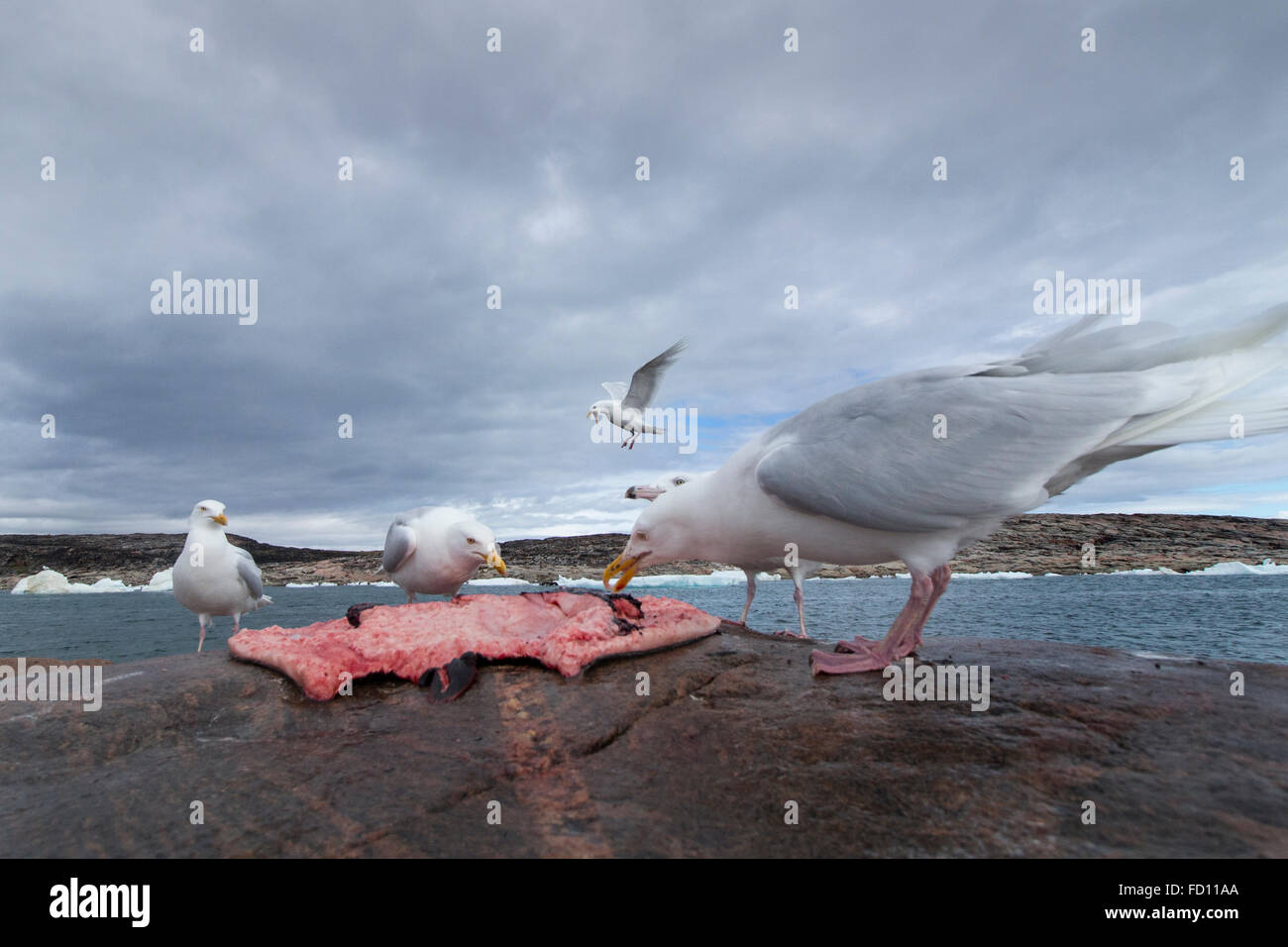Canada, Nunavut Territory, Repulse Bay, Glaucous-wing Seagull (Larus glaucescens) feeding on remains of Bearded - Stock Image