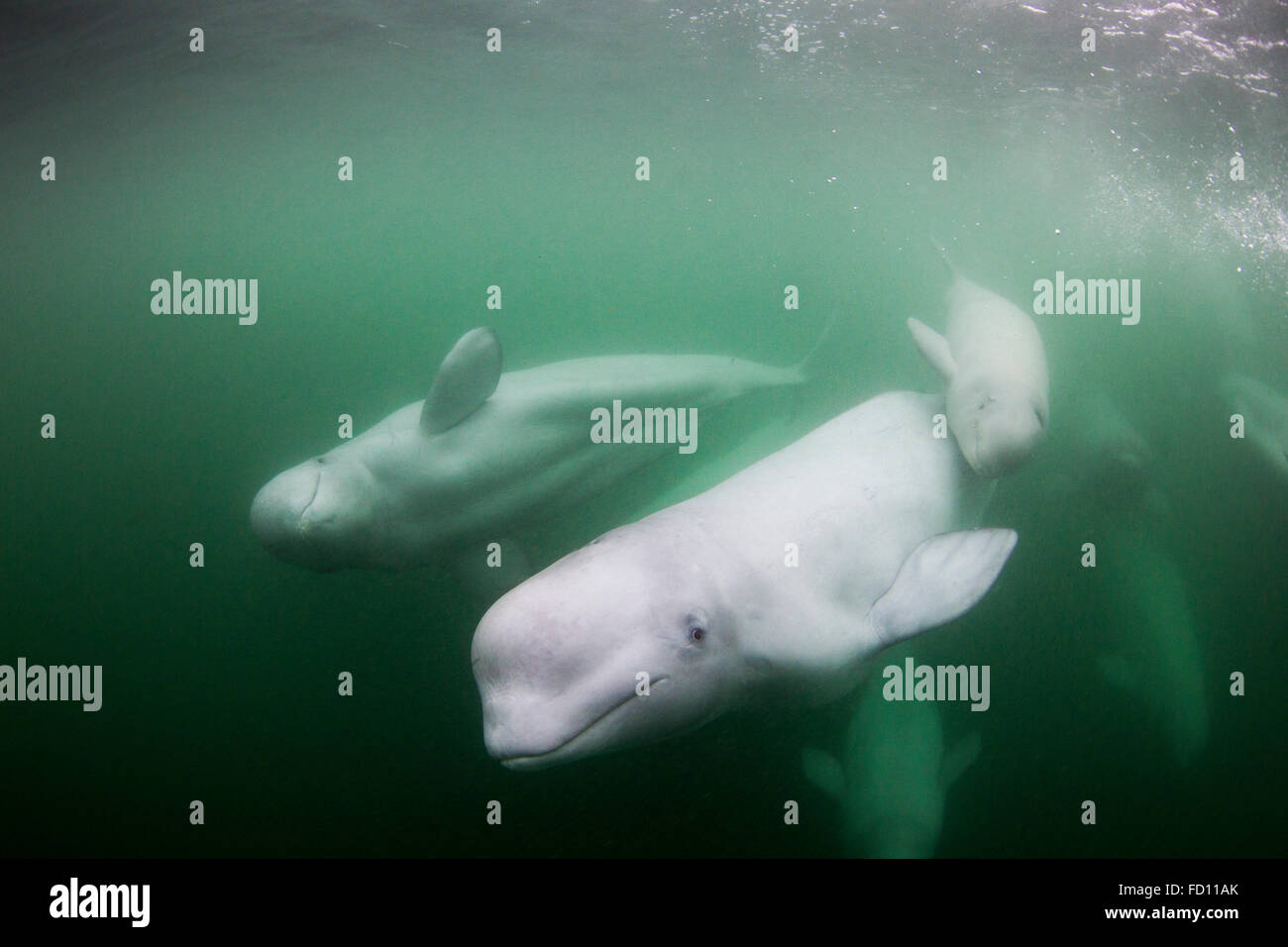 Beluga Whales Canada Stock Photos & Beluga Whales Canada Stock ...