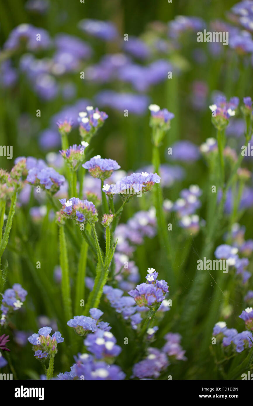 Close up of Limonium sinuatum 'Pale Blue'  Statice - Stock Image