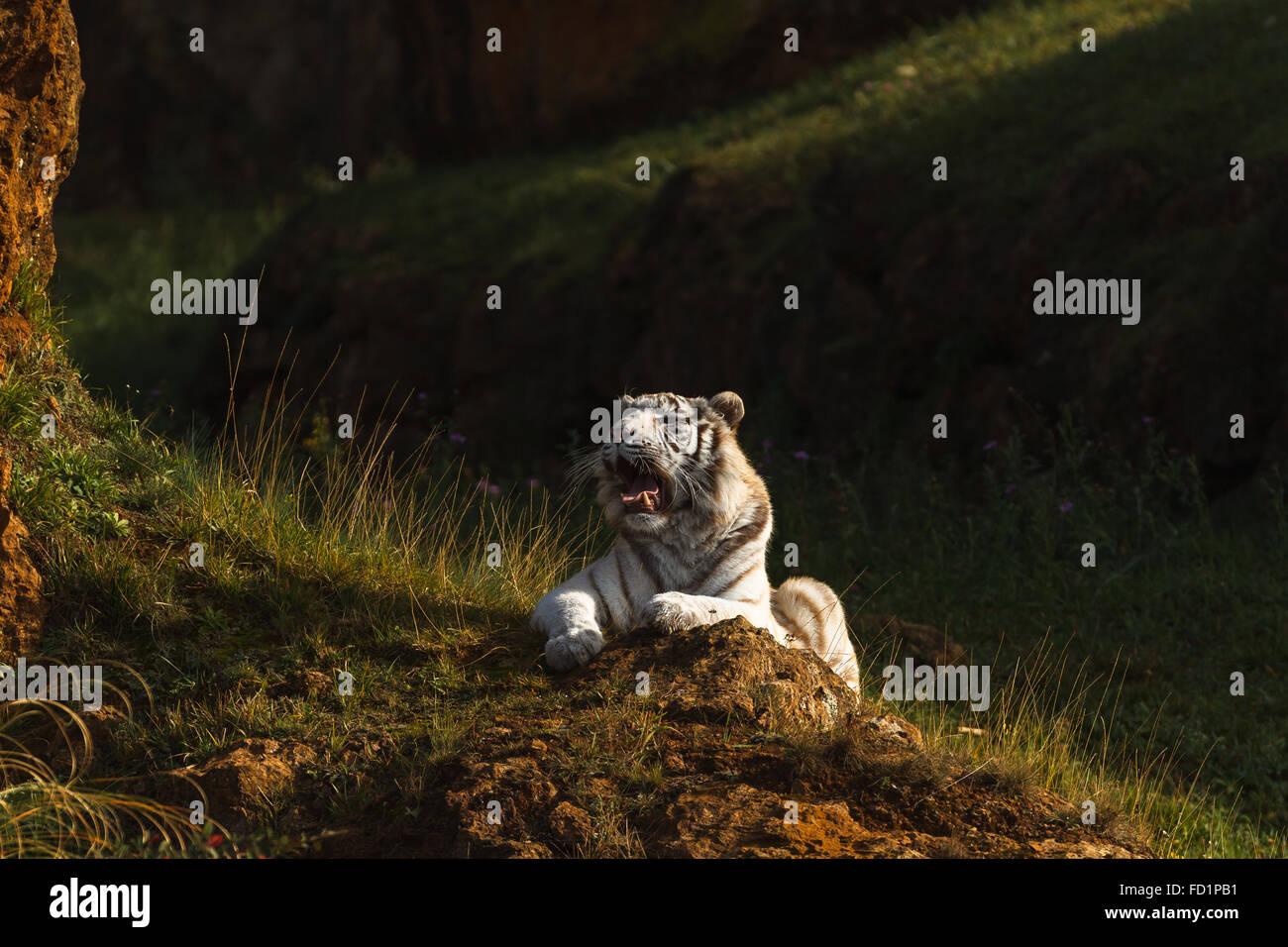 A white tiger (Panthera tigris tigris) resting in Cabarceno Nature Park, Cantabria, Spain. Stock Photo