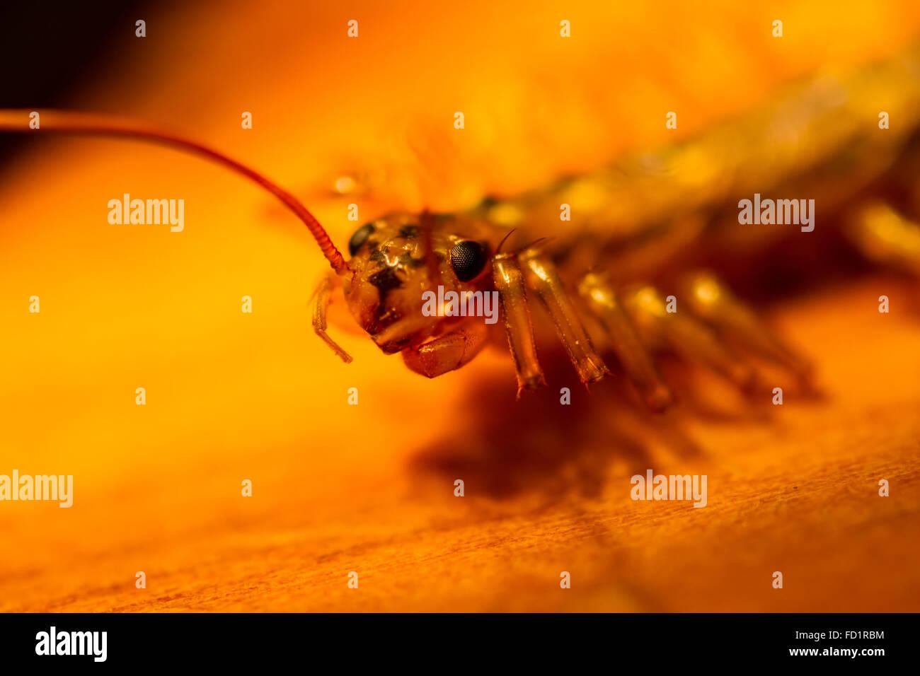 silverfish head peering - Stock Image