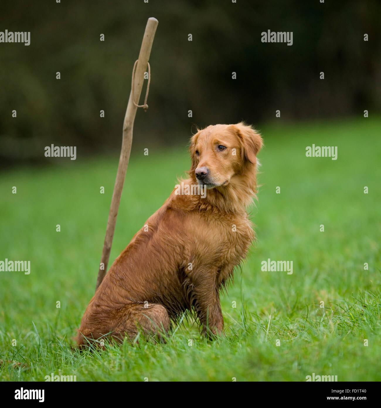 golden retriever on a peg - Stock Image