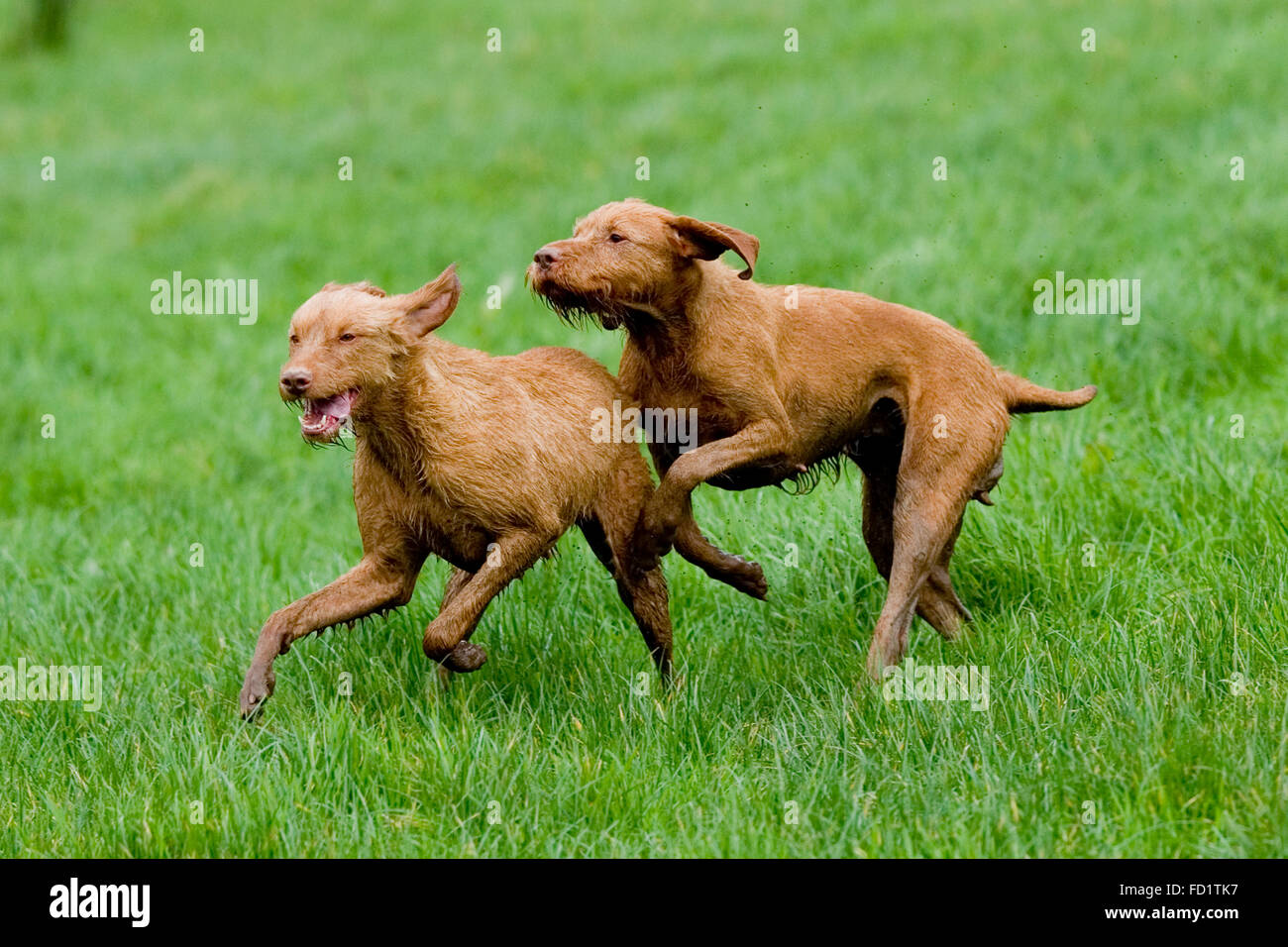 two wire haired vizsla playing in a field - Stock Image
