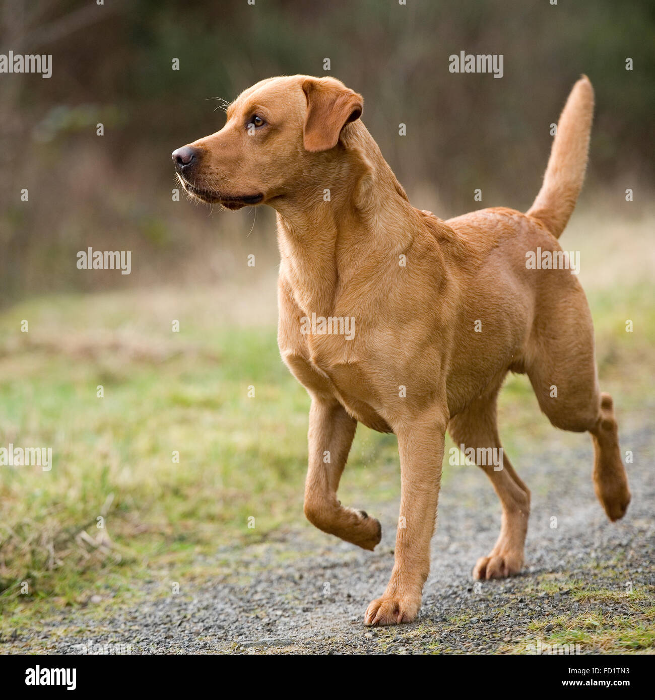 Red Fox Dog Stock Photos & Red Fox Dog Stock Images - Alamy
