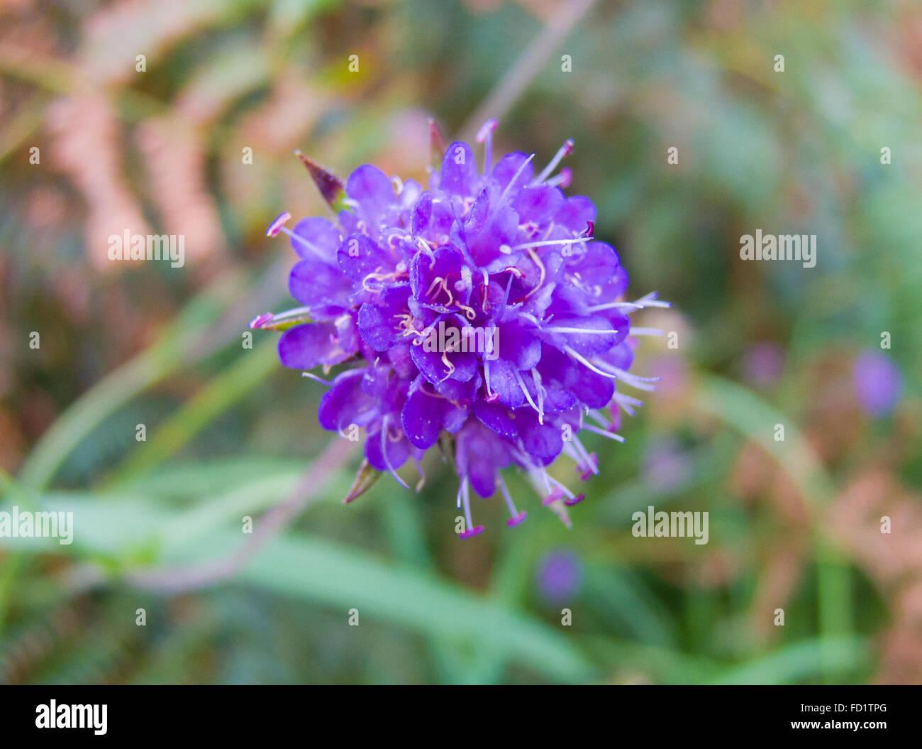 Devil's-Bit Scabious ( Succisa pratensis ) in Flower, UK - Stock Image