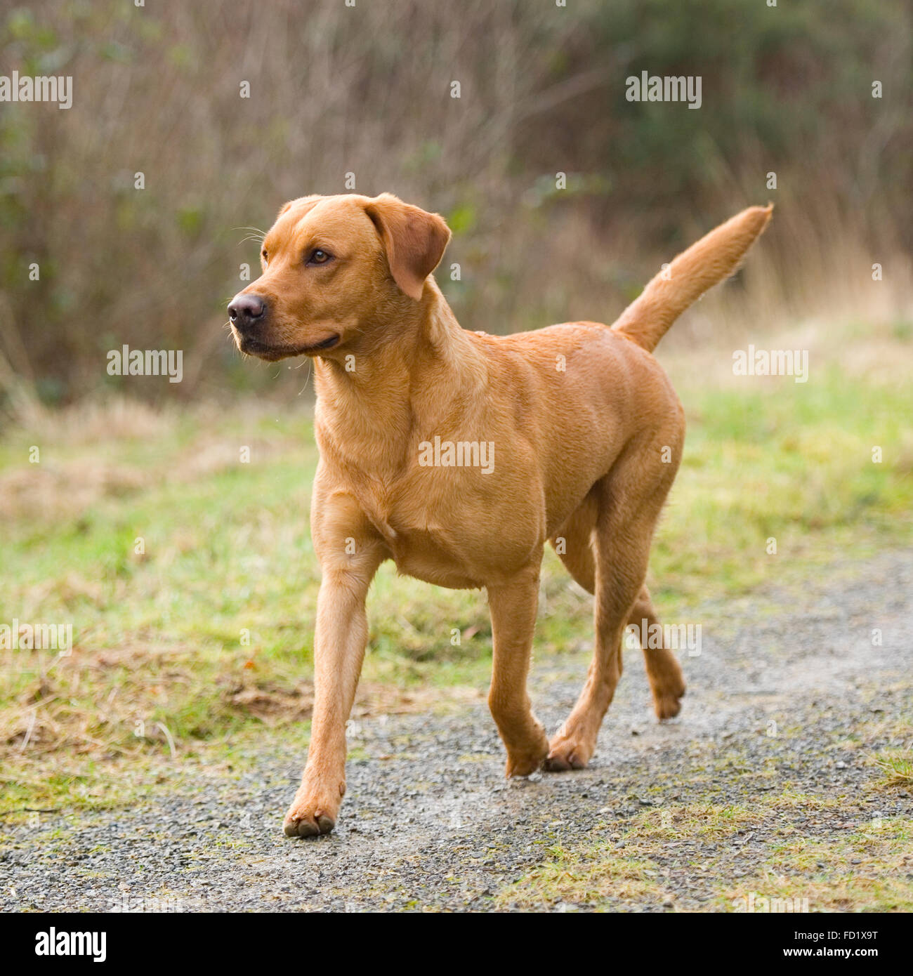 Fox Red Labrador Stock Photo 94084980 Alamy