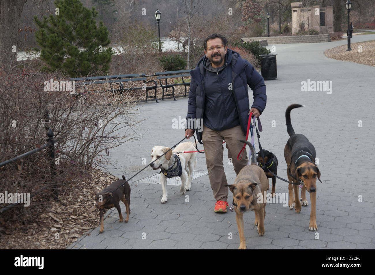 Dog Walking Job High Resolution Stock Photography And Images Alamy