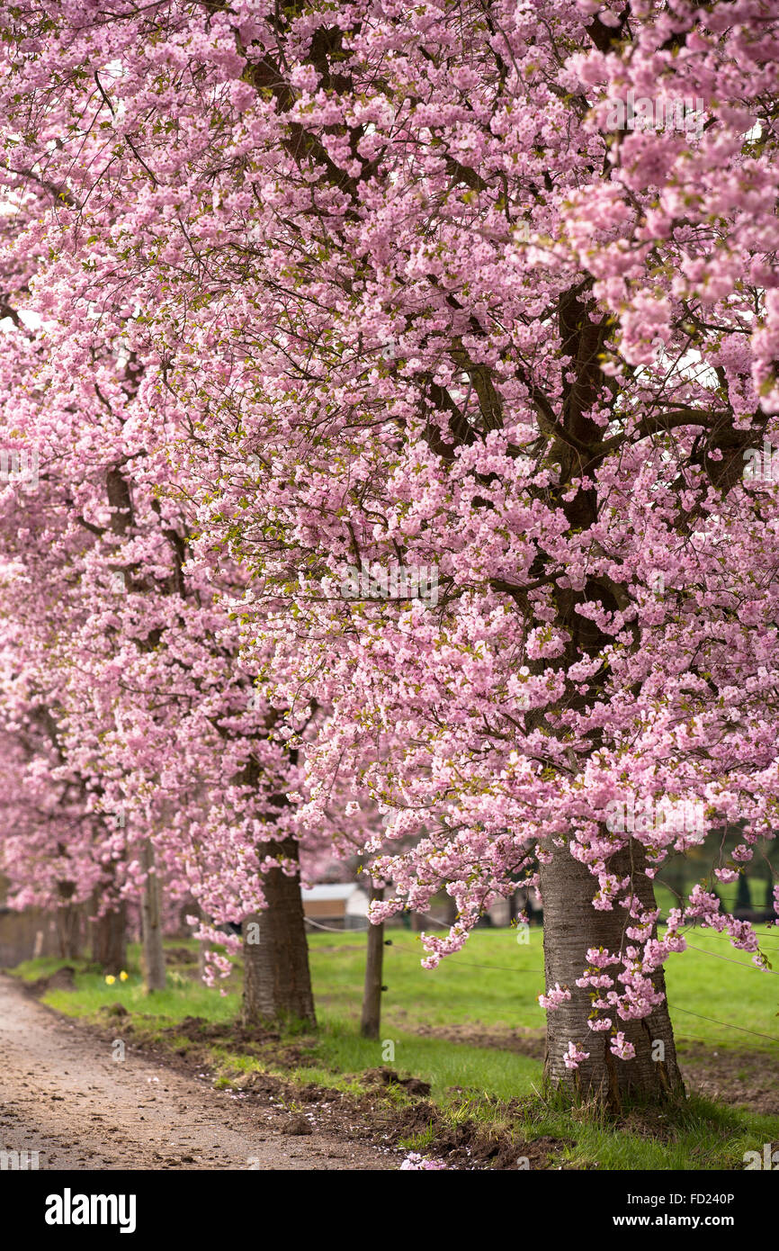 Europe, Germany, North Rhine-Westphalia, abloom Japanese cherry trees (lat. Prunus serrulata) near Sprockhoevel. Stock Photo