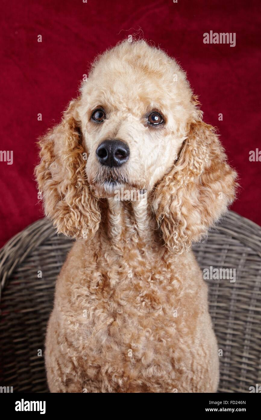 Dog portrait in the studio. Beautiful standard poodle sitting on a wooden chair with a red backdrop. - Stock Image