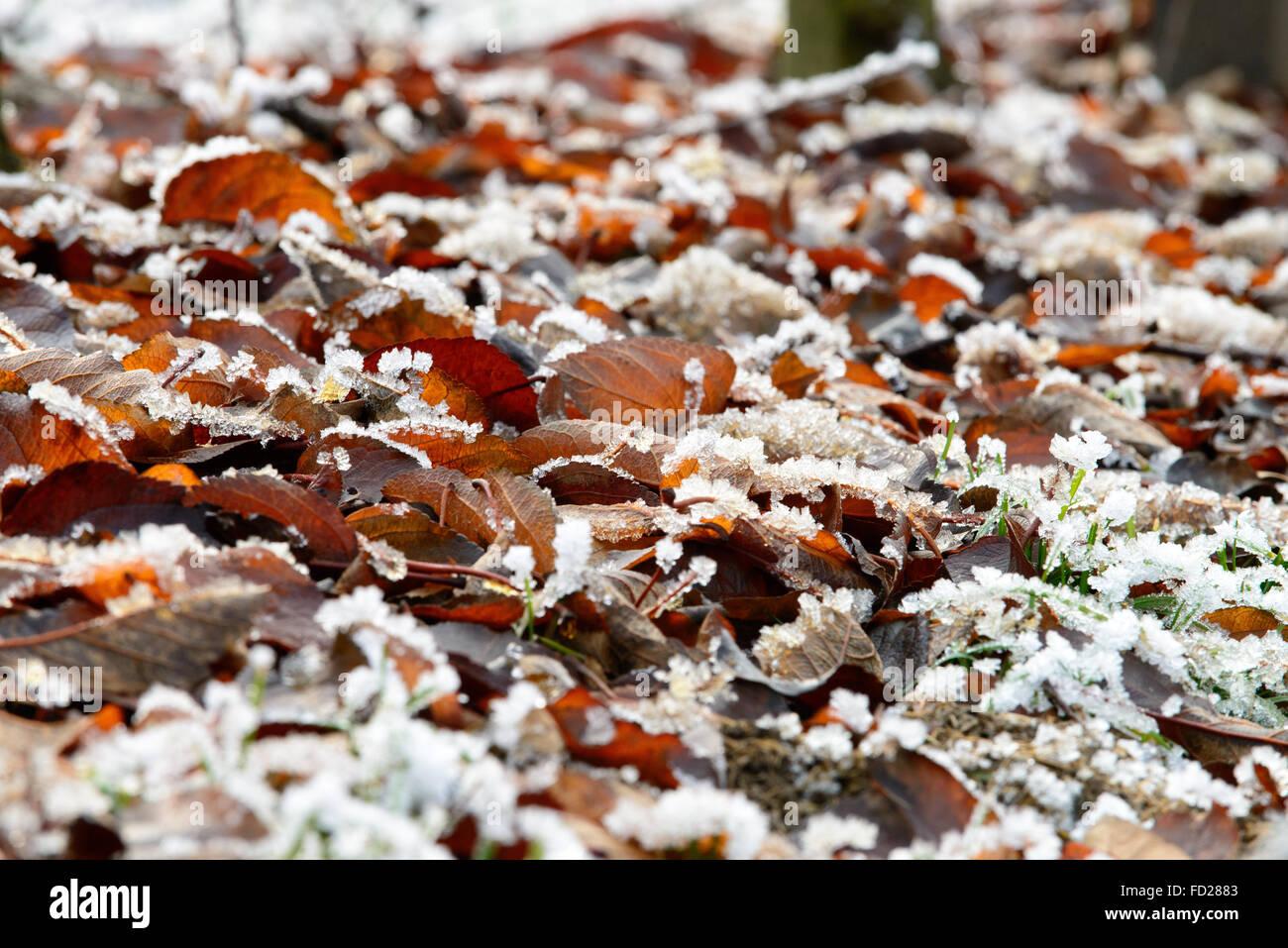 Herbstlaub, Rauhreif | autumn foliage, hoar frost Stock Photo