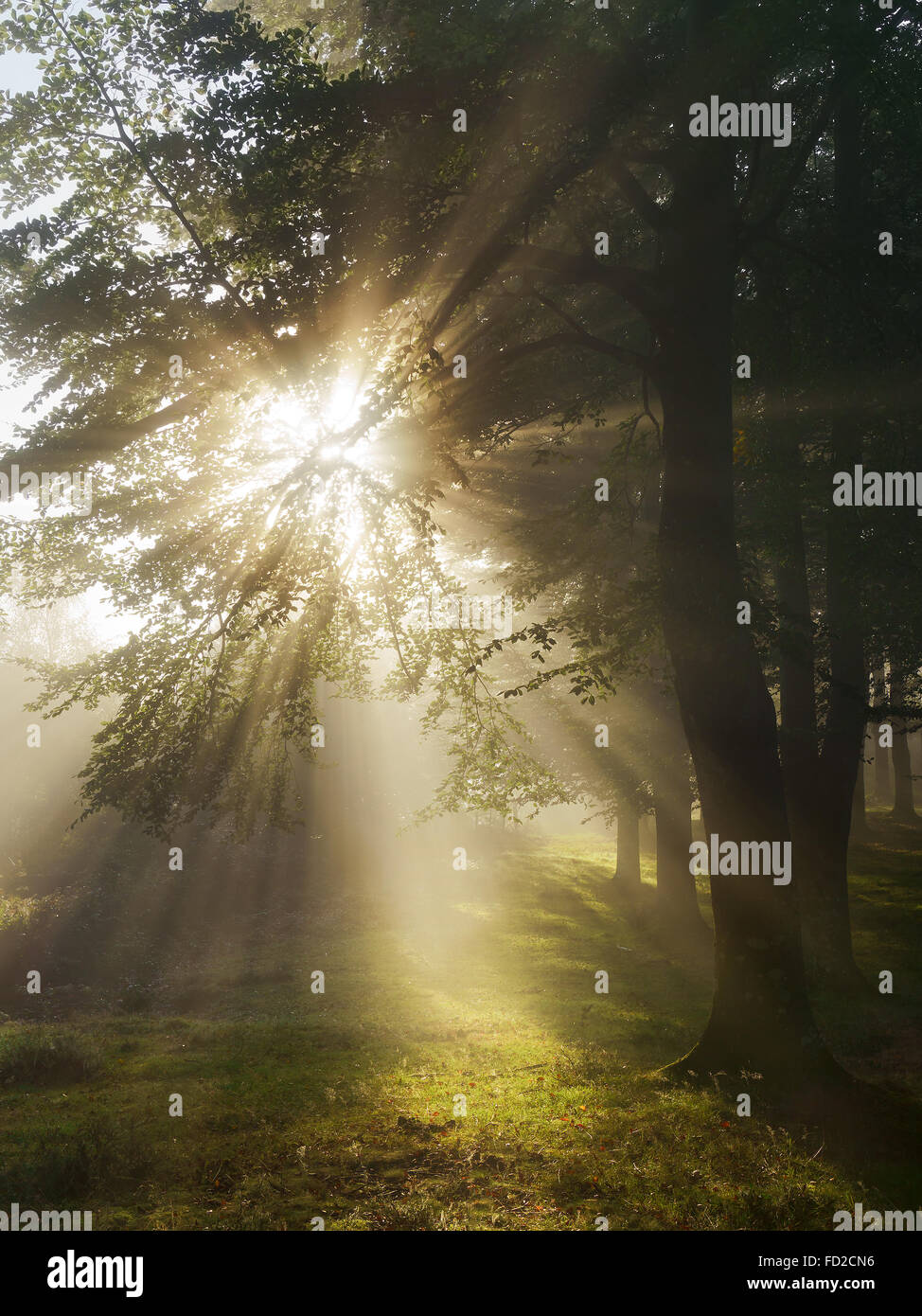 Sun beams in the forest at morning - Stock Image