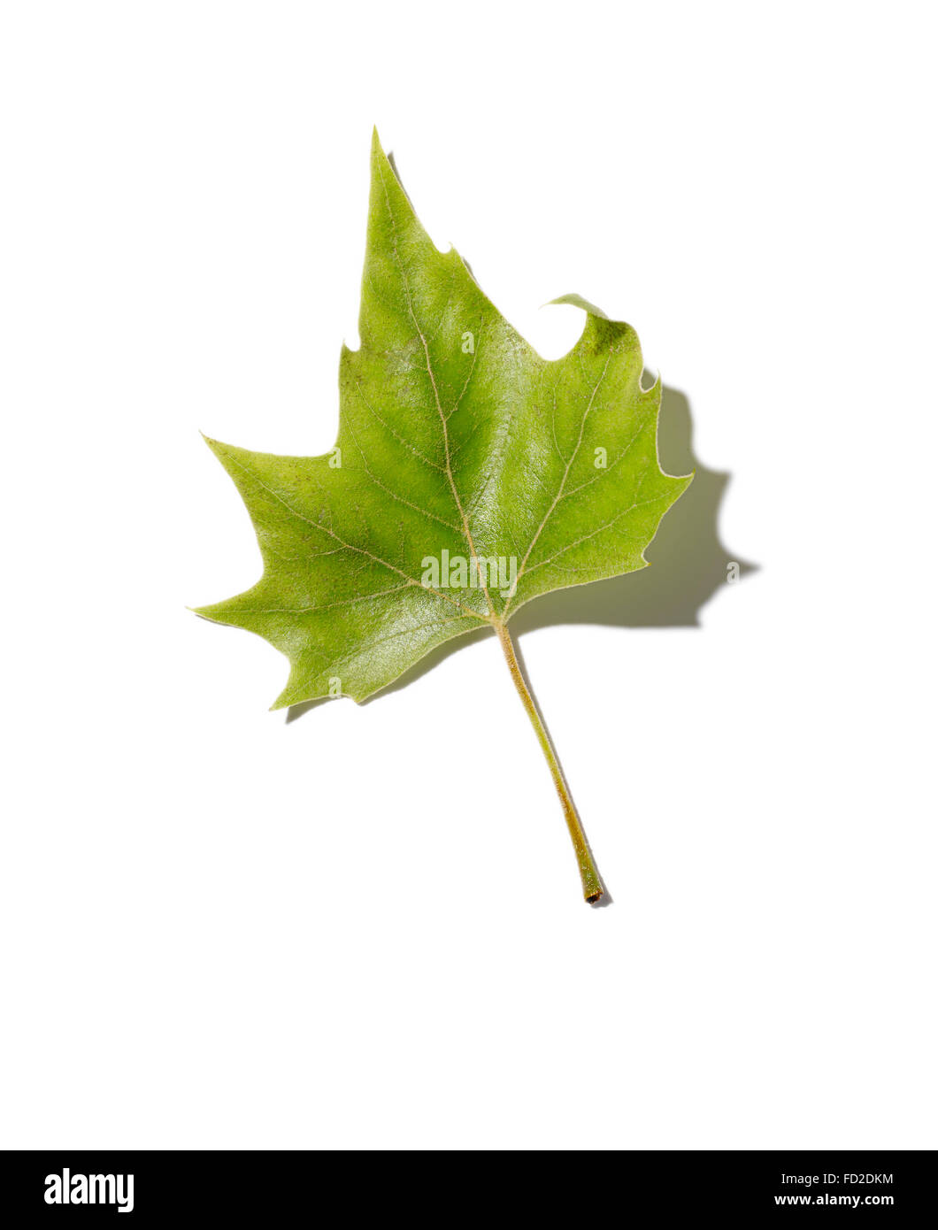A fallen deciduous green tree leaf. Stock Photo
