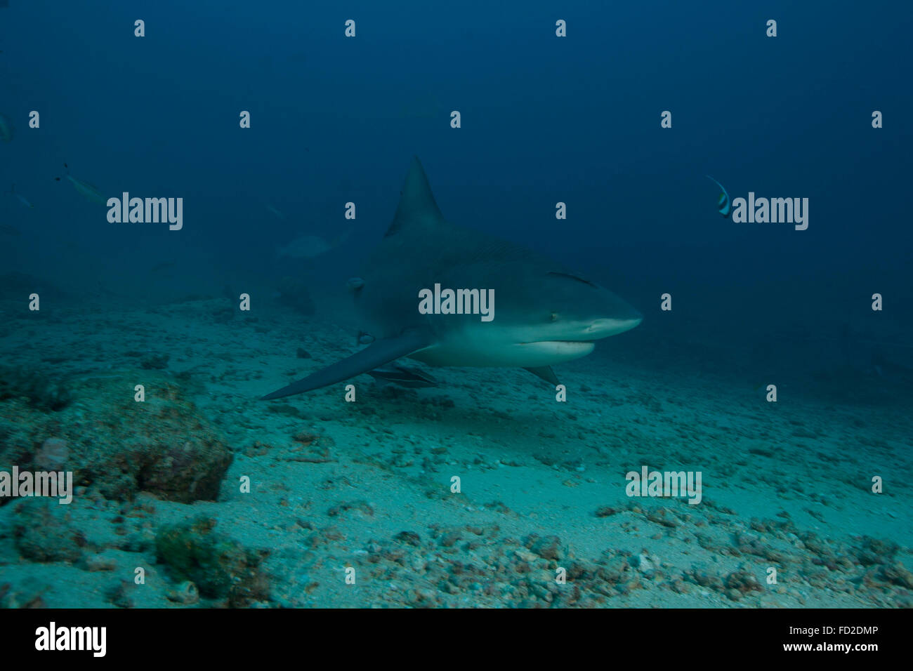 A large bull shark (Carcharhinus leucas) at The Bistro dive site in Fiji. - Stock Image