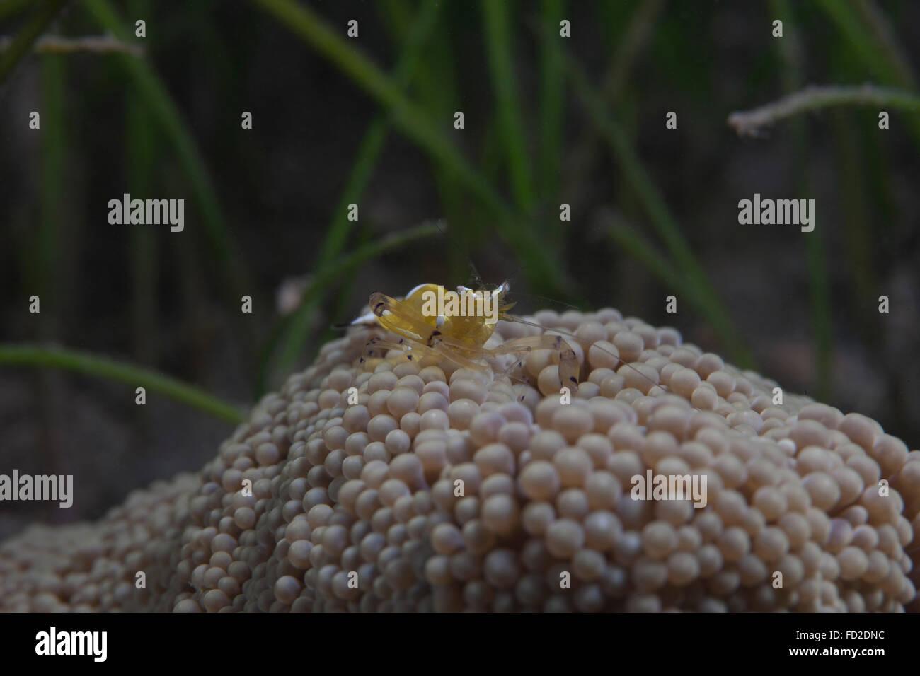 Popcorn shrimp (Periclimenes brevicarpalis) on an anenome on a Fijian Reef. - Stock Image
