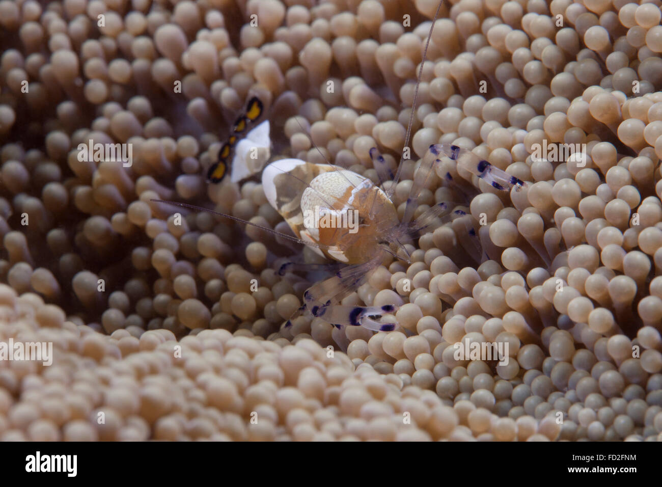 Popcorn Shrimp Animals Shrimp High Resolution Stock Photography And Images Alamy