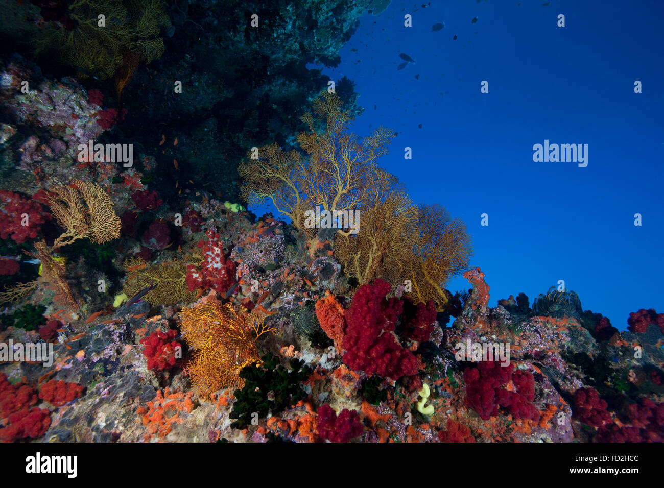 Beautiful soft corals and gorgonian sea fans adorn the walls and ceiling of a reef in Fiji. - Stock Image