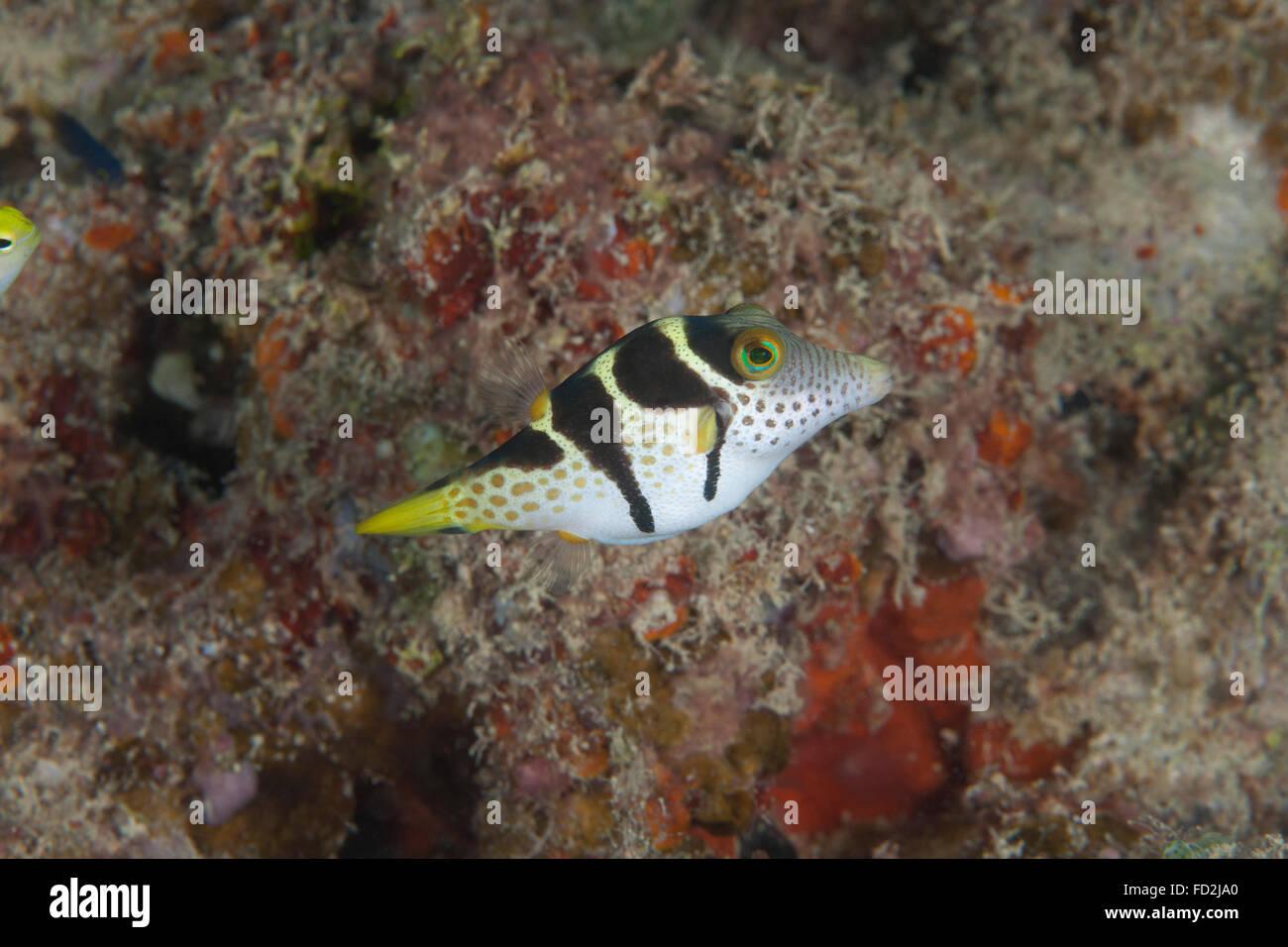 Mimic filefish (Paraluteres prionurus), Beqa Lagoon, Fiji. Stock Photo