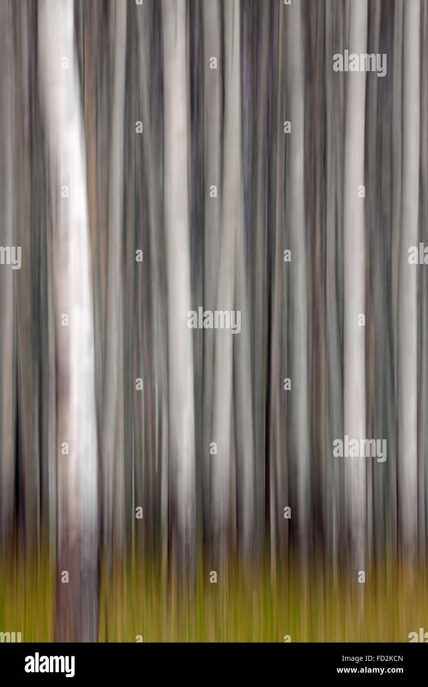 Abstract image of motion blurred aspen tree trunks in forest - Stock Image