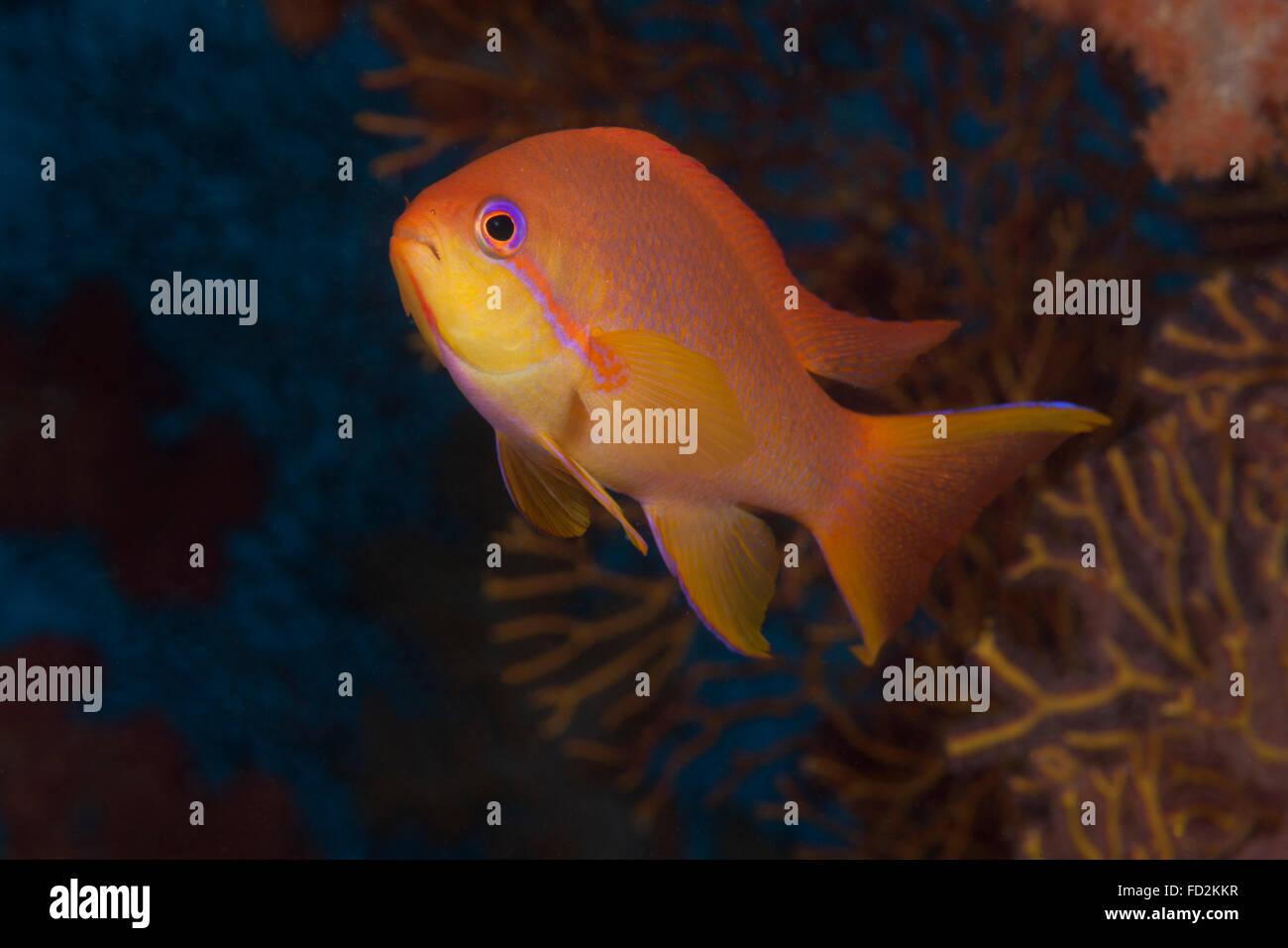 Scalefin anthias fish (Pseudanthias squamipinnis) Beqa Lagoon, Fiji. - Stock Image