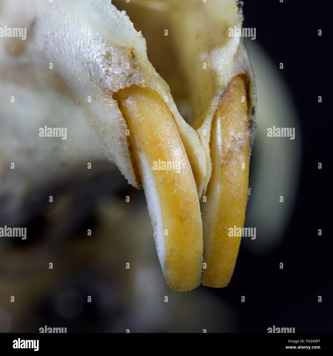 Close up of gnawing incisors / front teeth of mouse (Muridae) - Stock Image