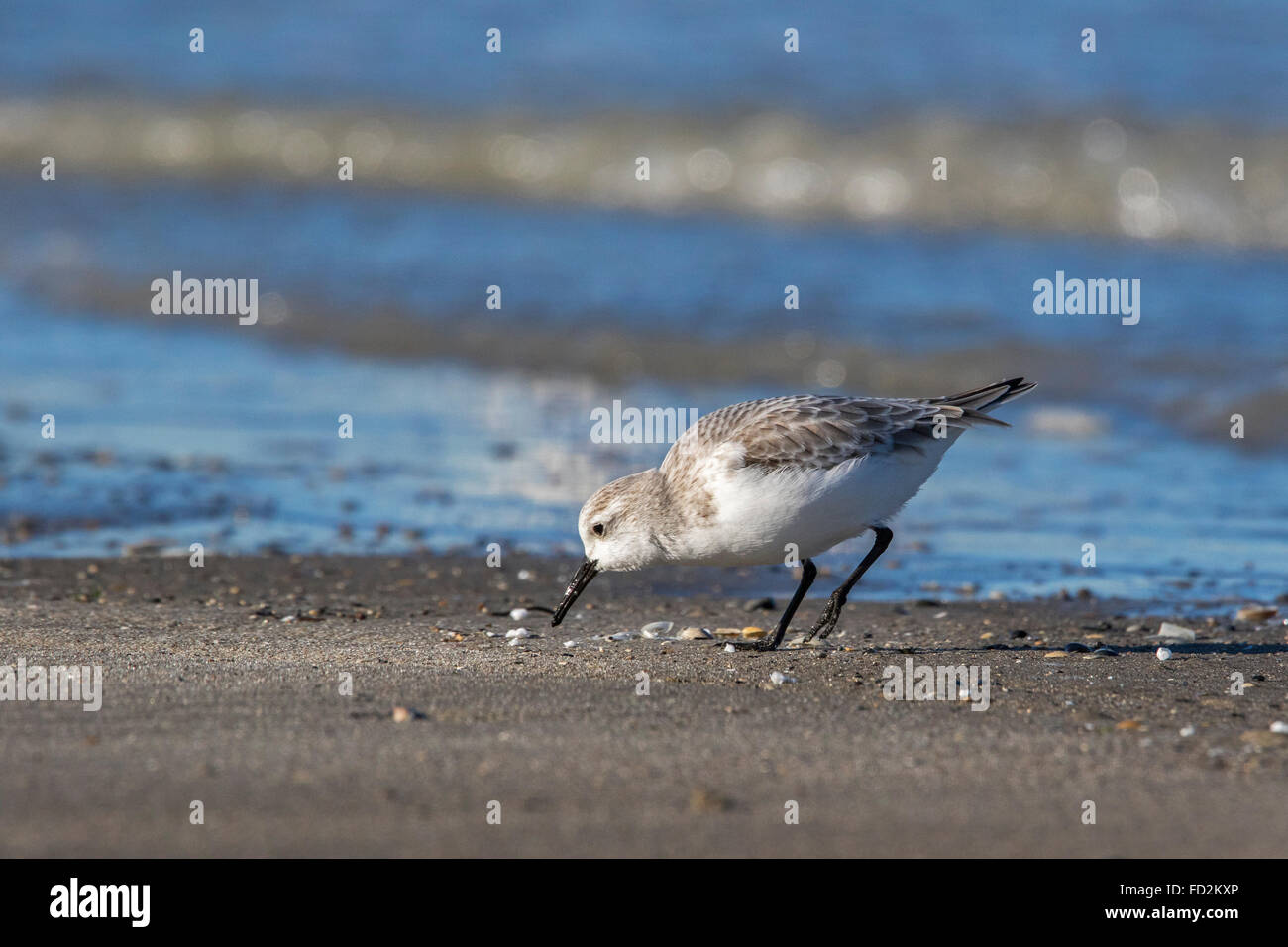 Sanderling (Calidris alba) in non-breeding plumage foraging at the edge of the surf along the North Sea coast in - Stock Image