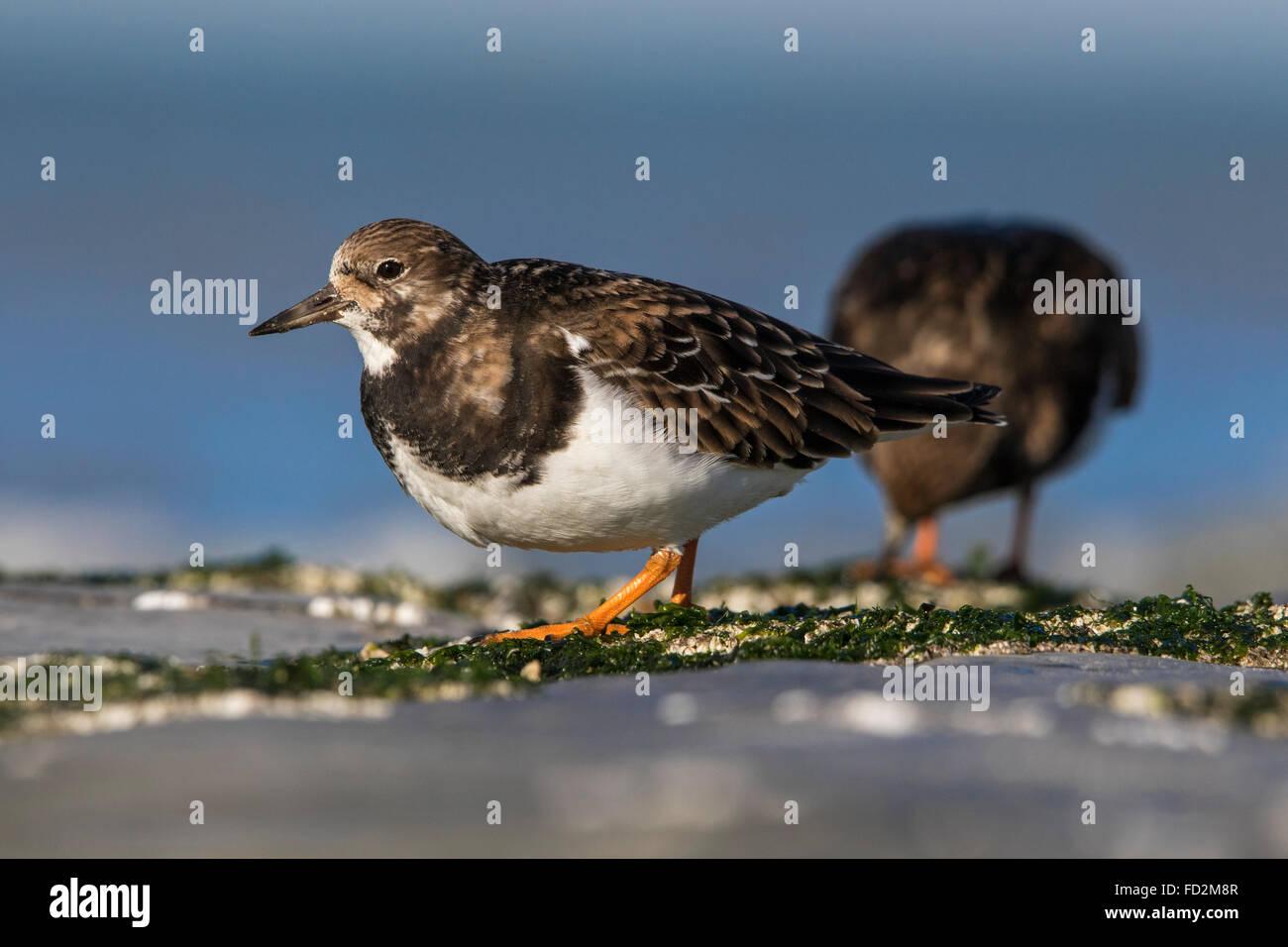Ruddy turnstones (Arenaria interpres) in non-breeding plumage foraging along the North Sea coast in winter - Stock Image