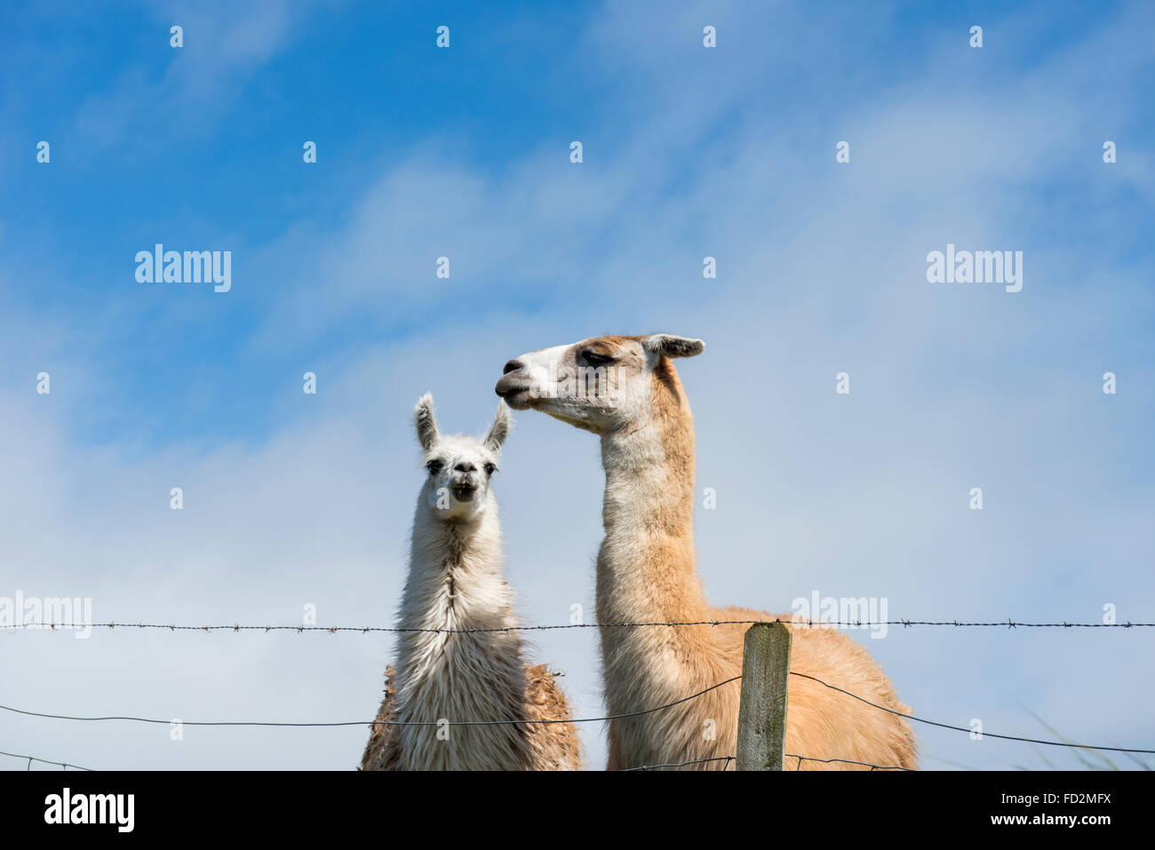 Two llamas (Lama glama) in a field on a farm in the UK - Stock Image