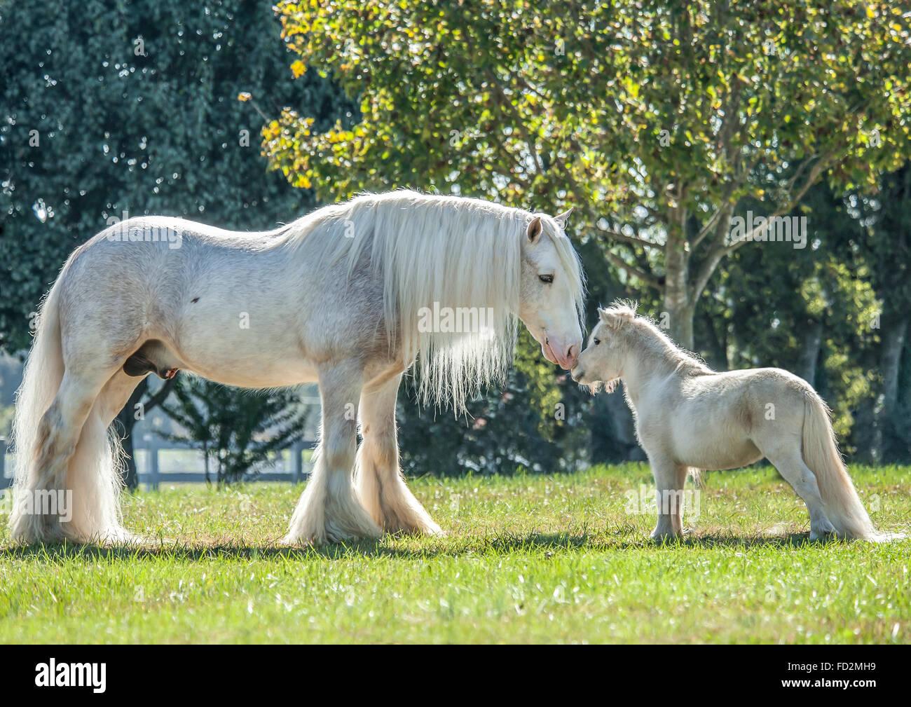 Gypsy Vanner Horse stallion and Miniature horse friend Stock Photo