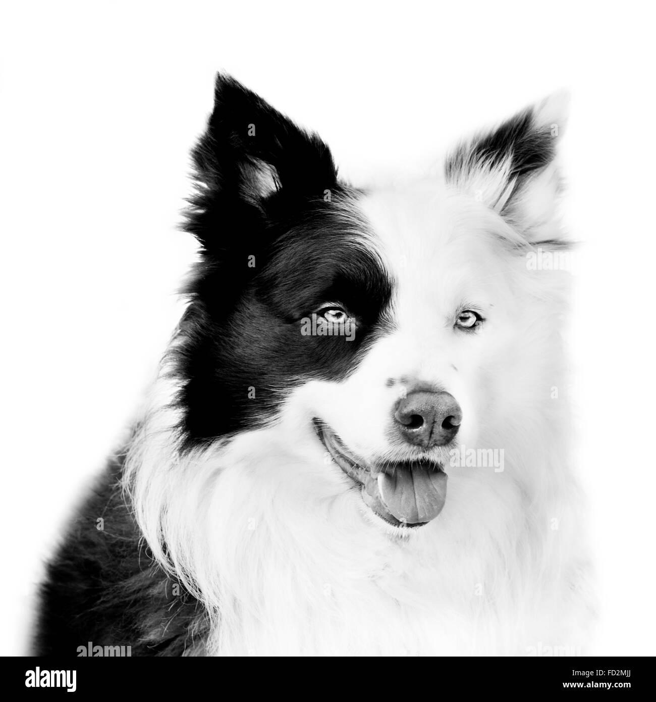 Border collie / Scottish sheep dog, black and white close up dog portrait - Stock Image