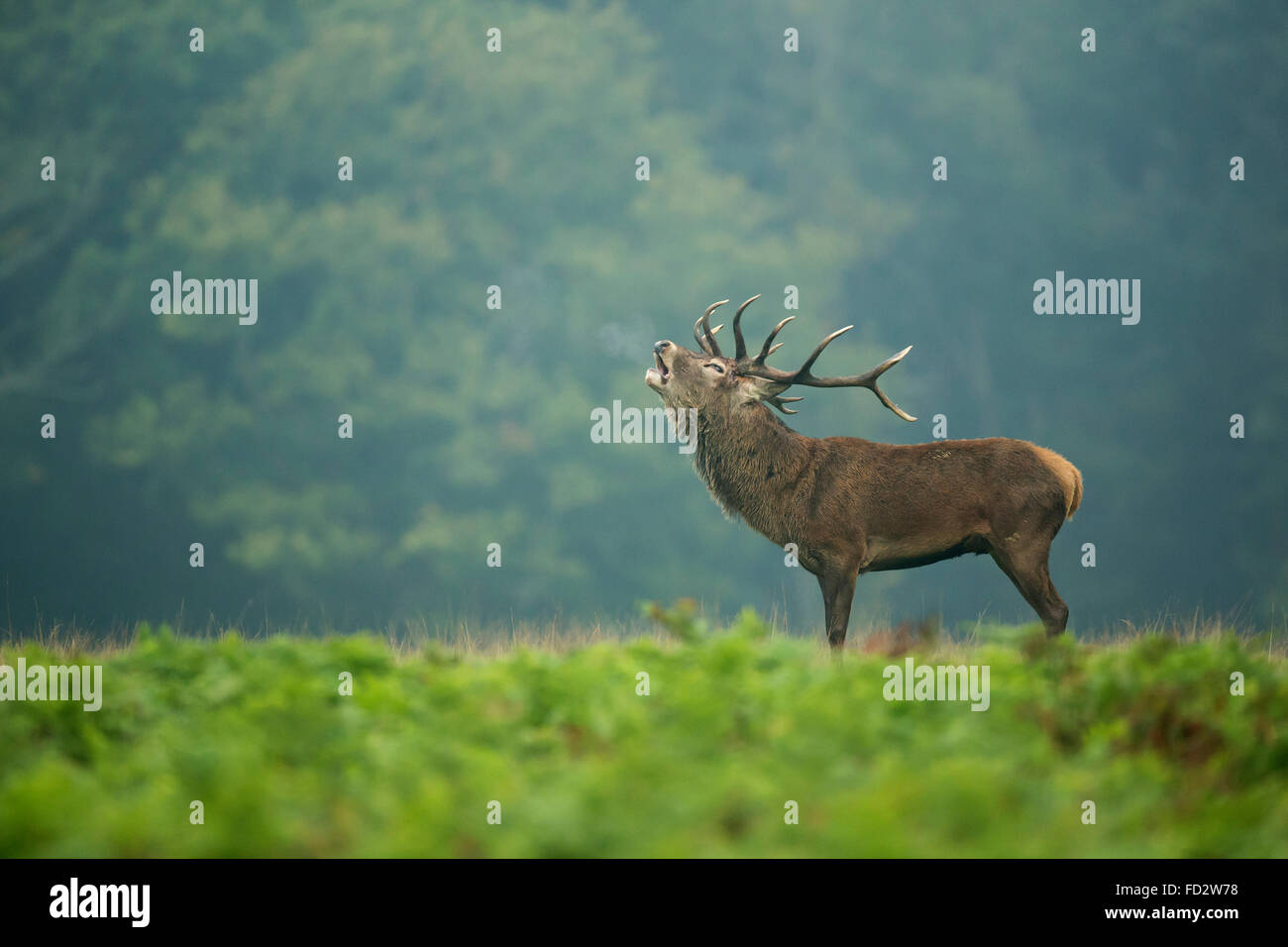 Red deer (Cervus elaphus) stag in the early morning mist during the rutting season - Stock Image