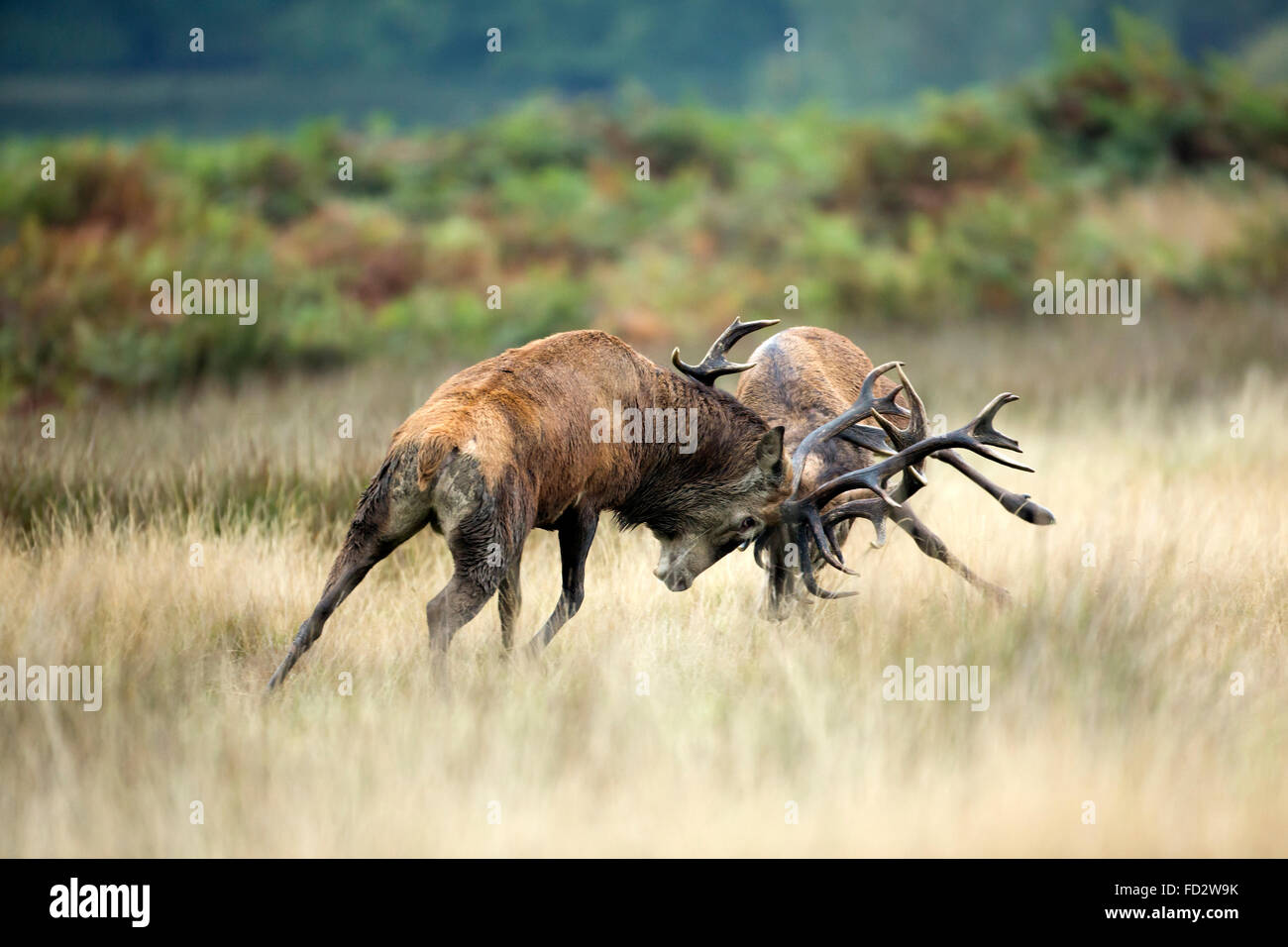 Red deer (Cervus elaphus) stags battlingduring the rutting season - Stock Image