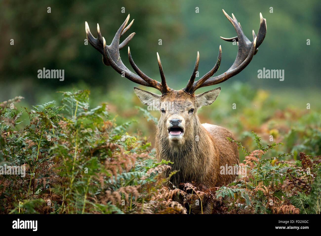 Red deer (Cervus elaphus) stag standing amongst bracken during rutting season - Stock Image