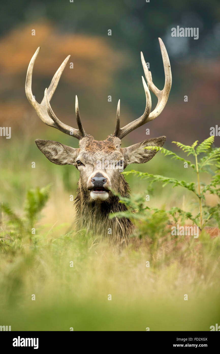 Red deer (Cervus elaphus) stag portrait in the bracken during rutting season - Stock Image